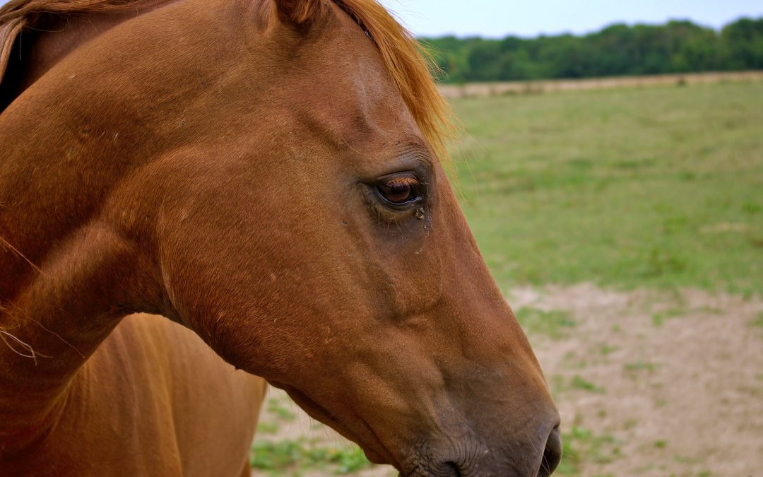 La vaccination de votre cheval
