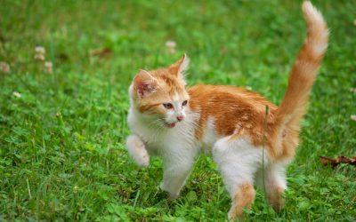 La leucose du chat